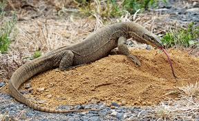 Goanna | Australian animals, Animal photography, Animals